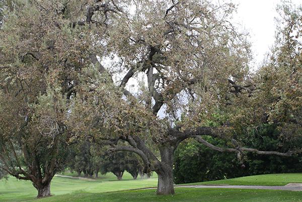 Ojai oak 600px